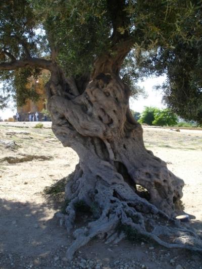Agrigente, l'olivier du Temple de la Concorde