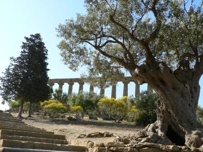 Agrigente, olivier devant le Temple d'Héra