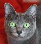 chat des Chartreux