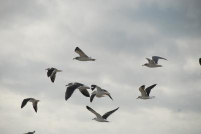 oiseaux en Baie d'Audierne - -DSC_0334