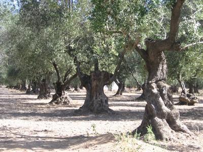 0-oliviers-mas-oliveraie