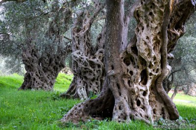 Bar_Olive_trees_3Montenegro