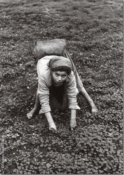 Ando Gilardi, Récolte des olives à Gioia Tauro (Reggio Calabria), vers 1955