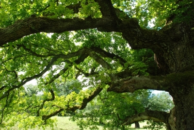 chêne des Bosses à Chatillon, Jura suisse