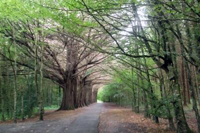 15-8-12-coole-park-woodland