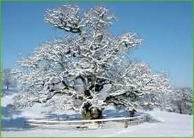 chêne des Bosses sous la neige