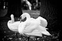 bruges-swans-bw