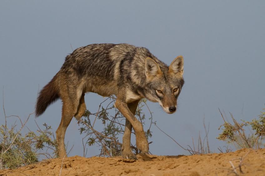 Coyote Wiesbaden vitesse datant