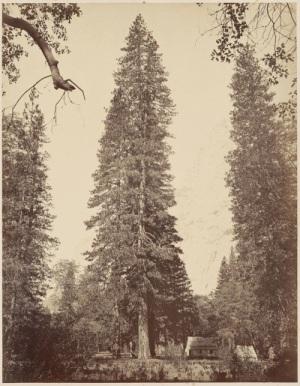 Carleton Watkins - Pinus ponderosa [Ponderosa (le pin jaune), hauteur d'environ 250 pieds, vers 1865-1880
