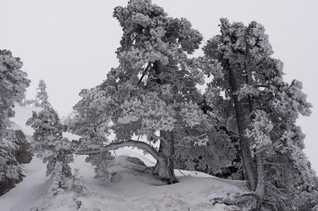 Pins à crochets au Roc des Bœufs en hiver le 7 janvier 2012 – photo prise par Totoff (blog SkiTour)