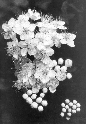 Rimantas Dichavicius - fleurs