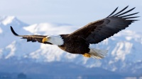 Bald Eagle in mid-air flight over Homer Spit Kenai Peninsula Alaska Winter