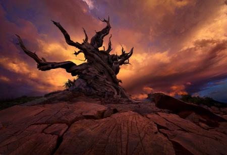 Marc Adamus - old Bristlecone pine