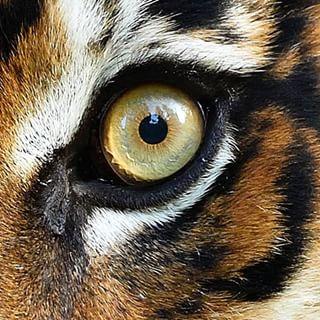 l'œil du Tigre