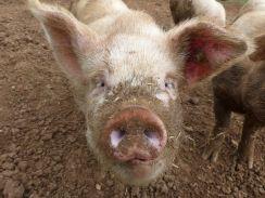 Liberty-pigs-11-1
