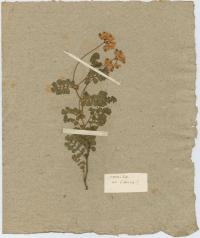planche d'herbier confectionnée par Rousseau. Bibliothèque publique et universitaire, Neuchâtel