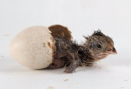 chick-hatching