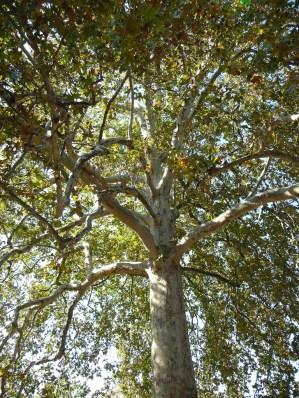 platane-dorient-platanus-orientalis-plante-par-buffon-en-1785-au-jardin-des-plantes-a-paris