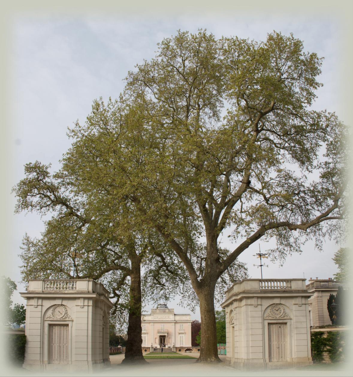 le platane de barrès ou l'arbre de m. taine | de paysage en paysage