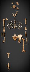skeleton-australopithecus-afarensis