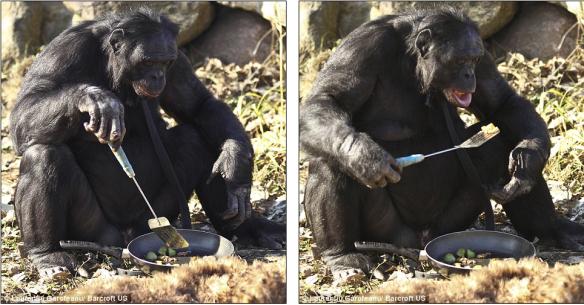kanzi-le-bonobo-fute
