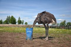 autruche-africaine-cachant-sa-tte-dans-le-sable-59419439.jpg