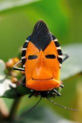 Punaise visage (catacanthus incarnatus)