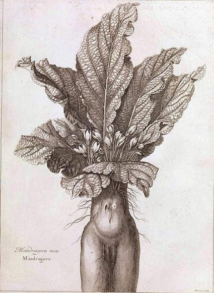Mandragora mas. mandragore - Histoire des plantes de Denis Dodart (1634-1717), gravure 1668-1699