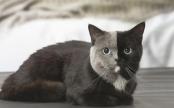 connaissez-vous-les-chats-chimere-ces-felins-a-double-face.jpg